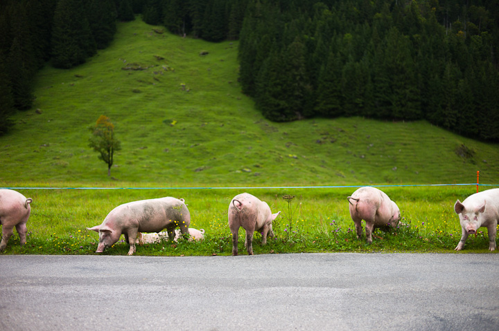 Alpine Pigs