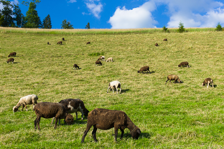 Erizer Schafe